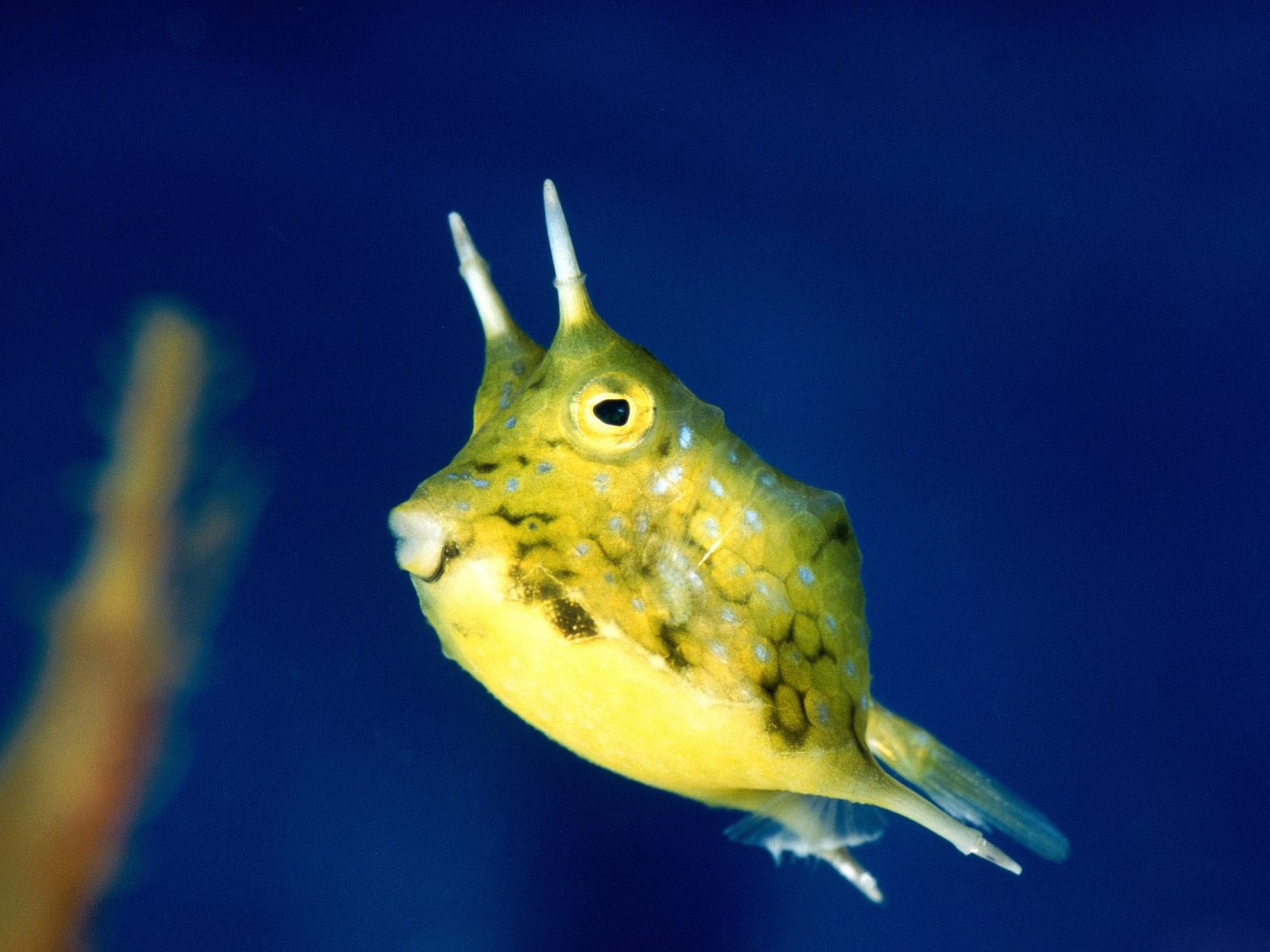 longhorn cowfish photo12